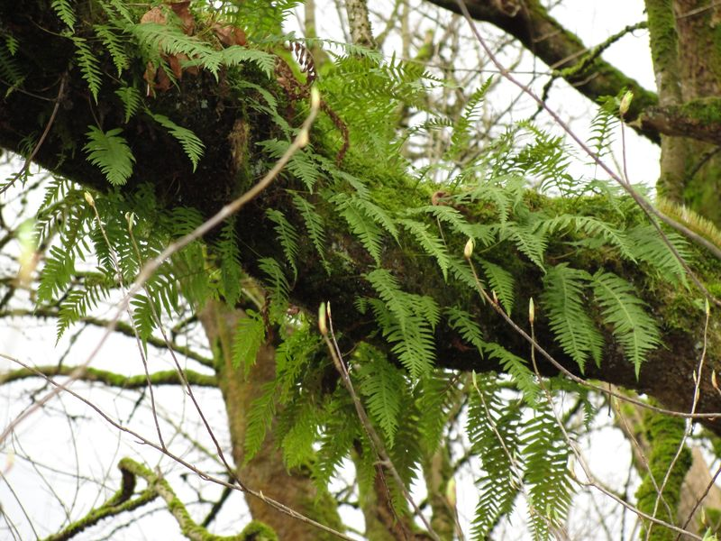 licorice fern how to eat