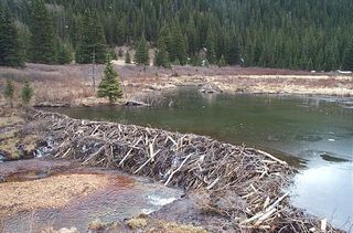 Not an actual Hylebos beaver dam!
