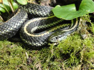 Garter snake 3006
