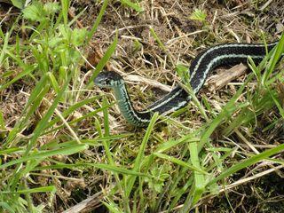 Snake facing me