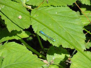Blue dragonfly 2