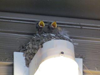 Barn swallow 5488