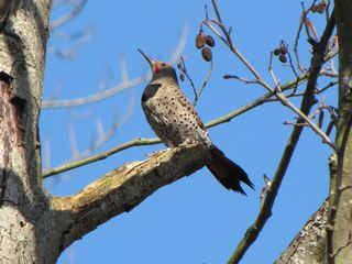 Northern flicker 5181
