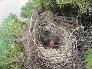 Baby juncos