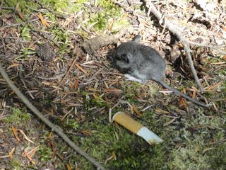 Mouse and cigarette butt
