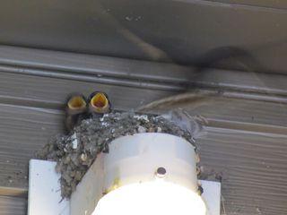 Barn swallow 5610
