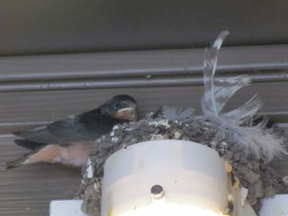 Barn swallow 5594