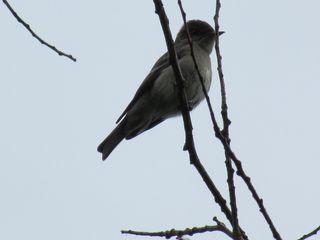 Willow flycatcher 5678