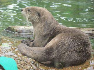 River otter 4695