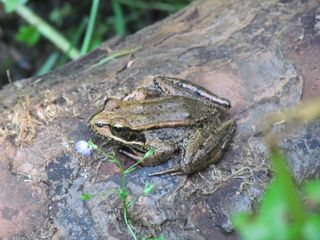 Frog 5753