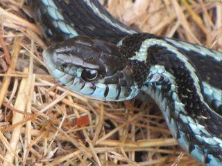 Snake 0286