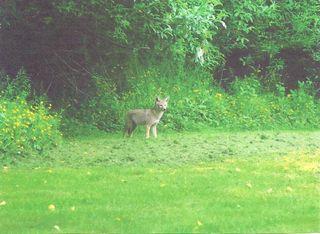 Coyote3 (rebecca)