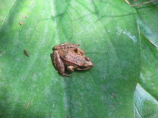 Frog 5757