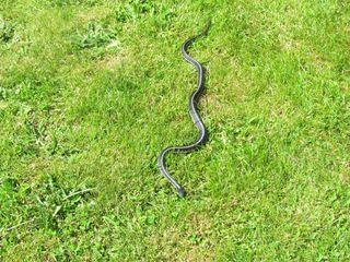Snake 5791