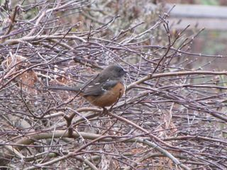 Spotted towhee4162
