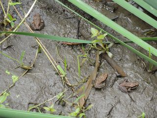 Baby rl frogs 2109